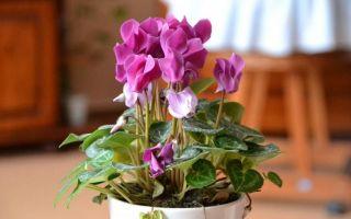 Цветок цикламен — уход, приметы и суеверия
