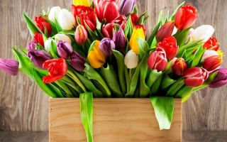 Уход за тюльпанами, легенда и поверья о цветке
