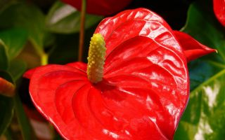 Антуриум, цветок мужское счастье — приметы и уход