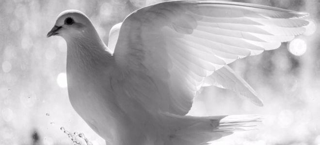 Белый голубь — вестник важных событий