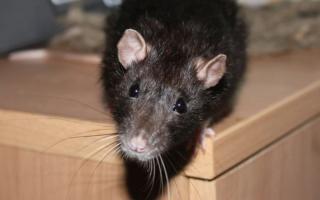 Приметы о появлении крыс или мышей в доме
