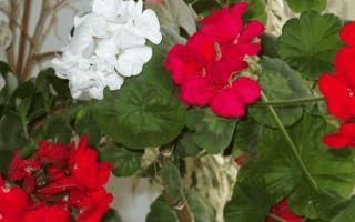 Приметы о цветах: герань