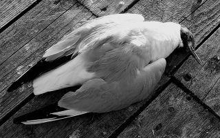 Мертвая птица — приметы увидеть дома, в пути