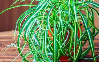 Хлорофитум — полезные свойства и уход по приметам