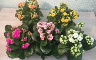 Каланхоэ — полезные свойства и приметы по выращиванию