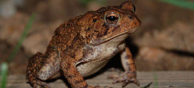 К чему встретилась лягушка — приметы