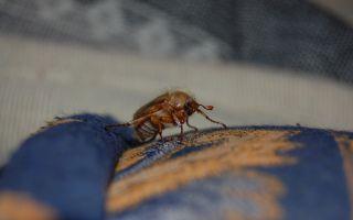 Суеверия и приметы о жуках