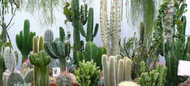 Приметы про кактус