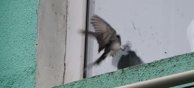 К чему птица бьется в окно по народным приметам