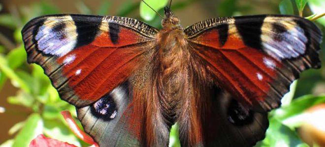 В дом залетела бабочка — примета