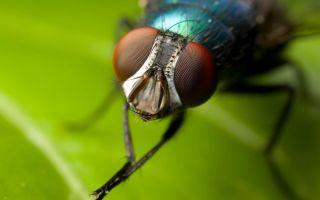 Приметы о мухах — залетела в дом, упала в еду