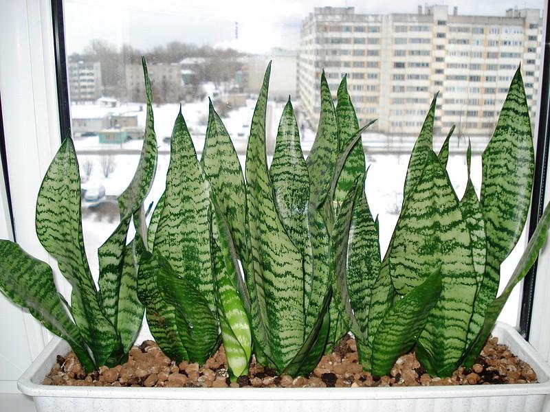 Фото цветка тещин язык приметы значение растения