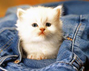 белые кошки приметы
