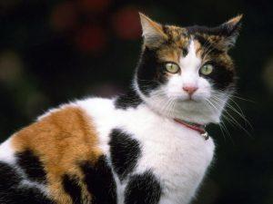 трехцветные кошки приметы