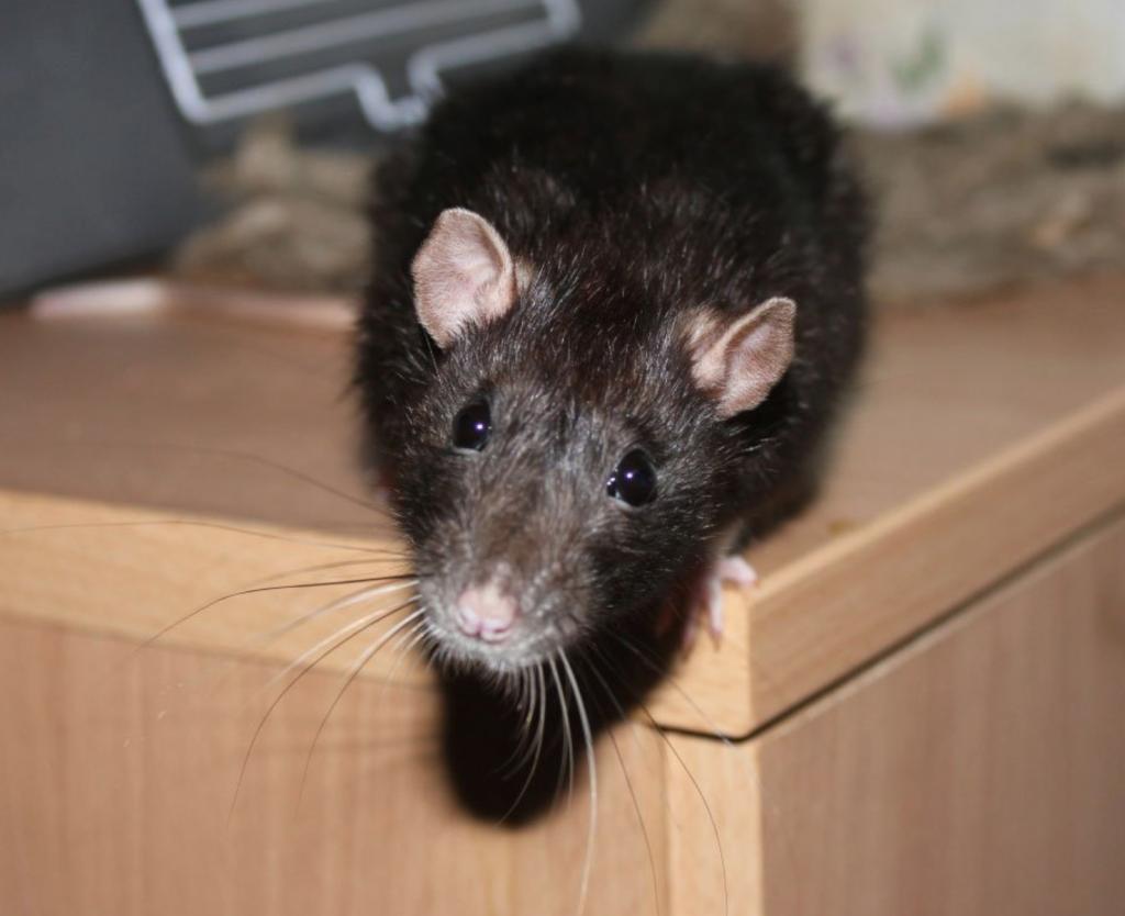 Как понять кто завелся крыса или мышь