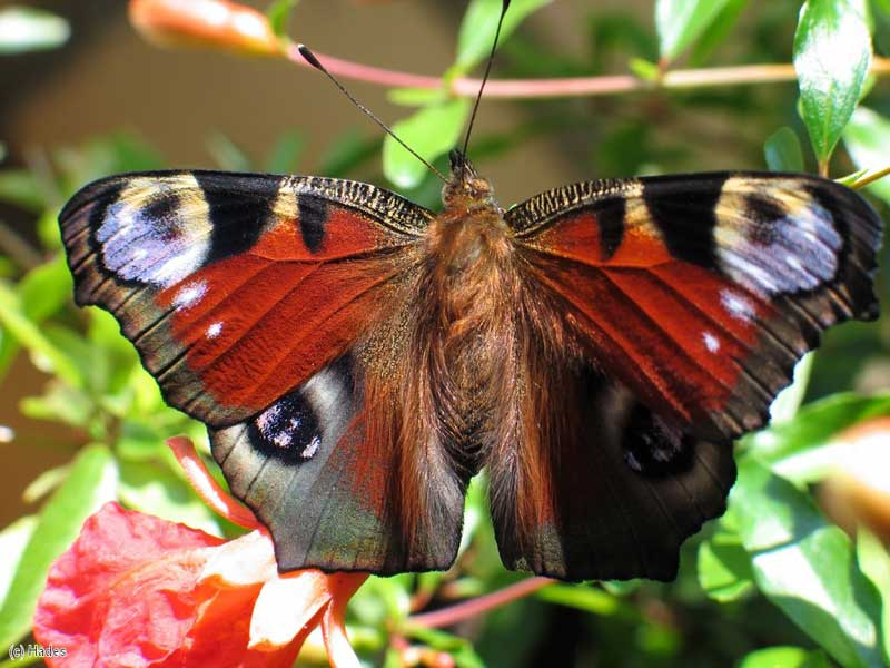 К чему залетает бабочка в квартиру: волшебная вестница добра
