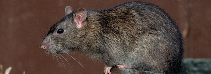 крысы приметы