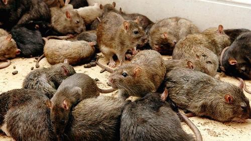 к чему появляются мыши в квартире приметы