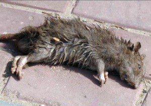 увидеть дохлую крысу примета