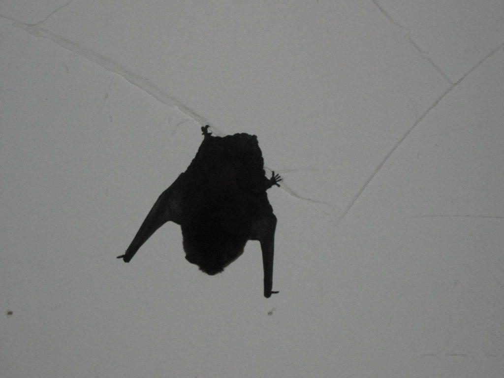 летучая мышь залетела в квартиру примета
