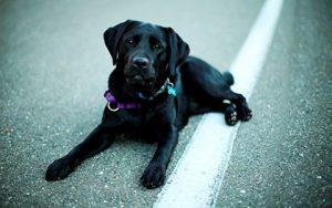черный пес приметы