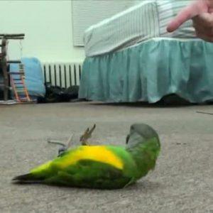 умер попугай примета