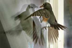 к чему стучится птица в окно