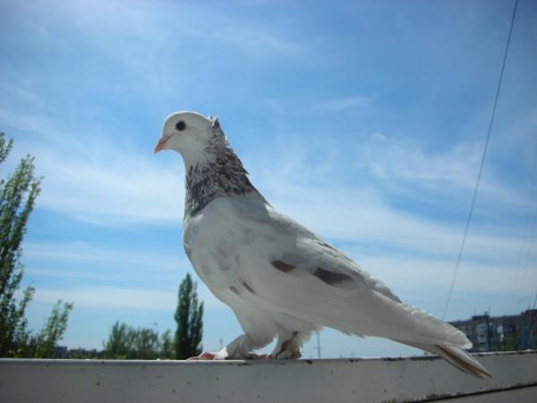белый голубь прилетел на подоконник примета