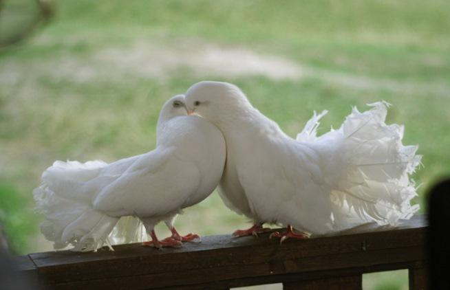 белый голубь залетел на балкон примета