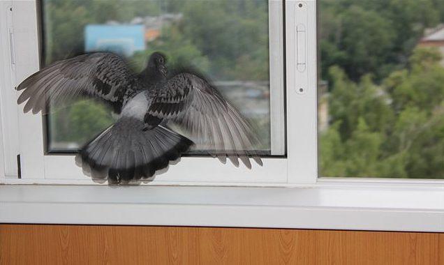 примета голубь ударился в окно