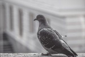 голубь залетел на балкон примета