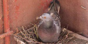 голуби поселились на балконе примета