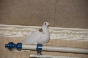 голубь залетел в квартиру примета