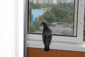 примета голубь залетел в дом