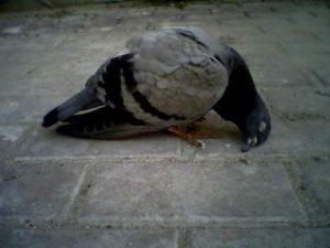 мертвый голубь примета