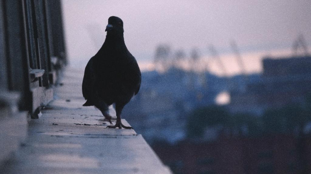 Примета голубь сел на подоконник за окном