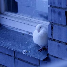 примета голубь сел на подоконник