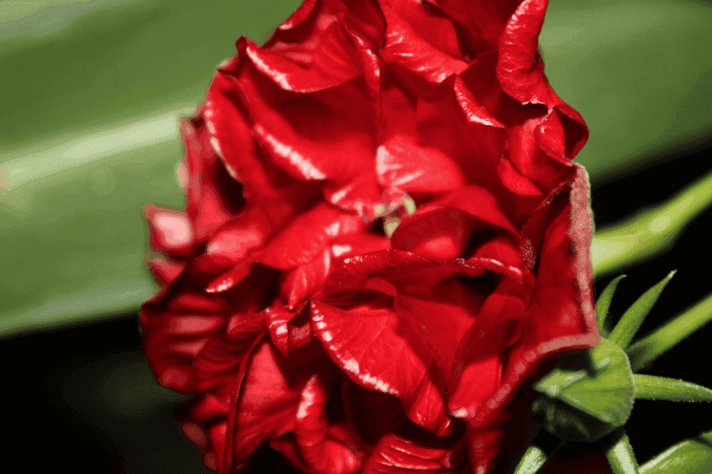 Почему гибискус (китайская роза) нельзя держать дома